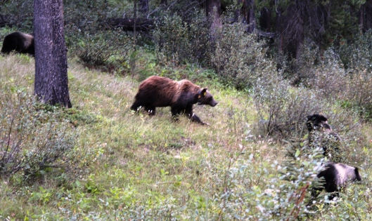 We stumbled upon this momma grizzly with three cubs!