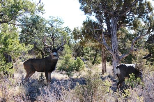 Buck at Mesa Verde