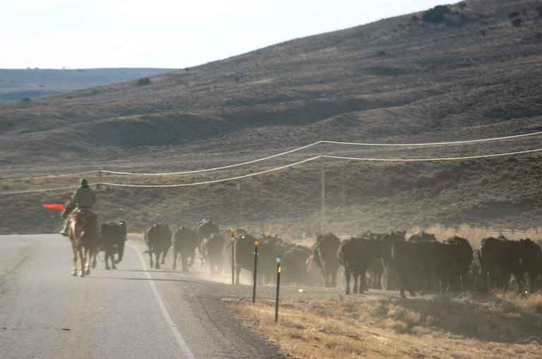Cattle Drive Along the Highway
