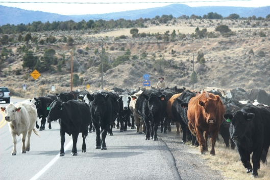 Colorado Cattle Drive