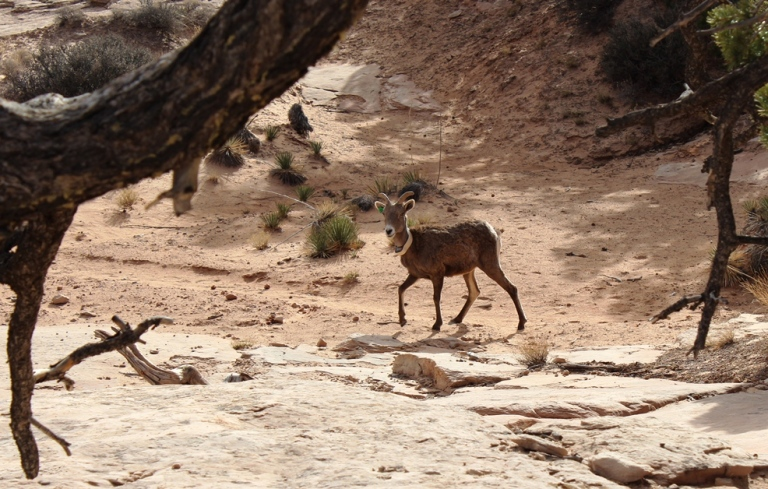 Mountain Goat at Canyonlands
