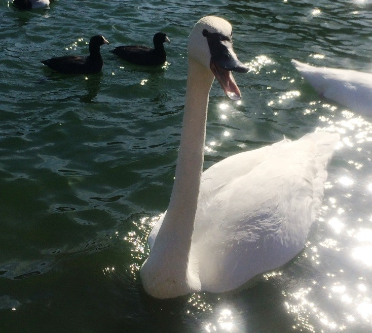 Silly Swan