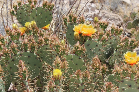 Prickly Pears in Bloom