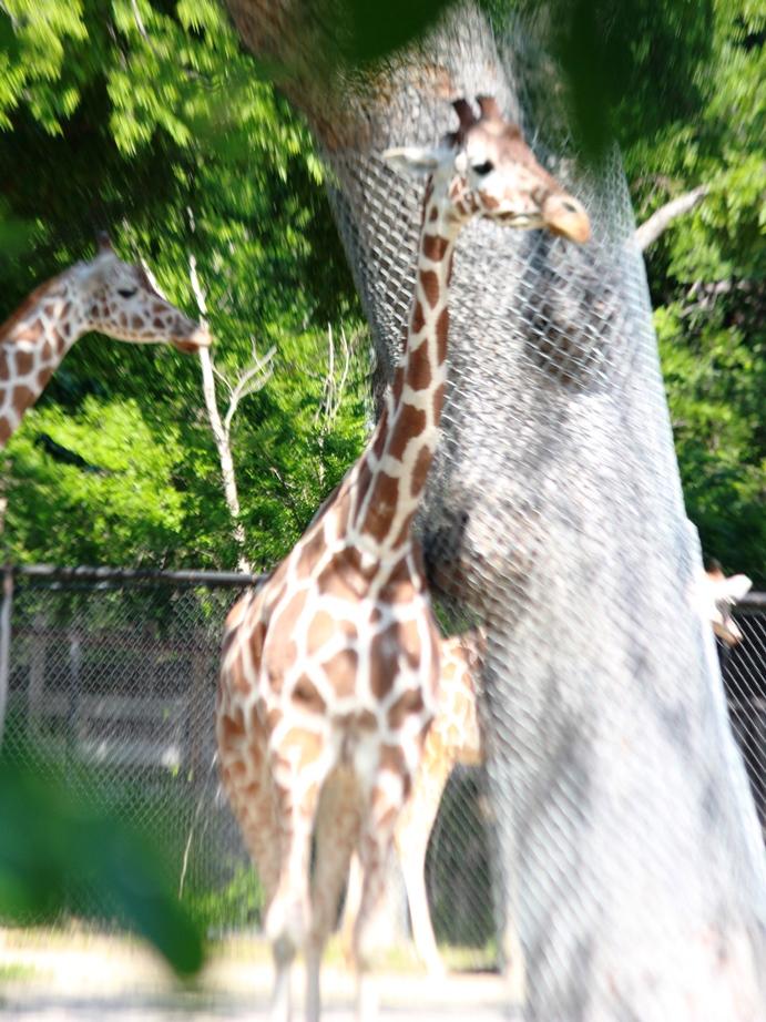 Fort Worth Zoo Giraffes