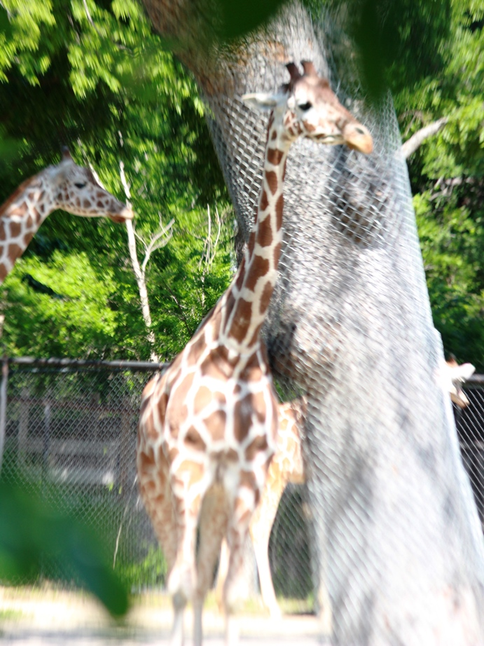 Fort Worth Zoo Giraffes