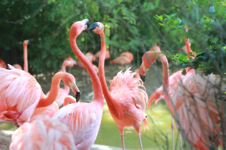 Fort Worth Zoo Kissing Flamingos