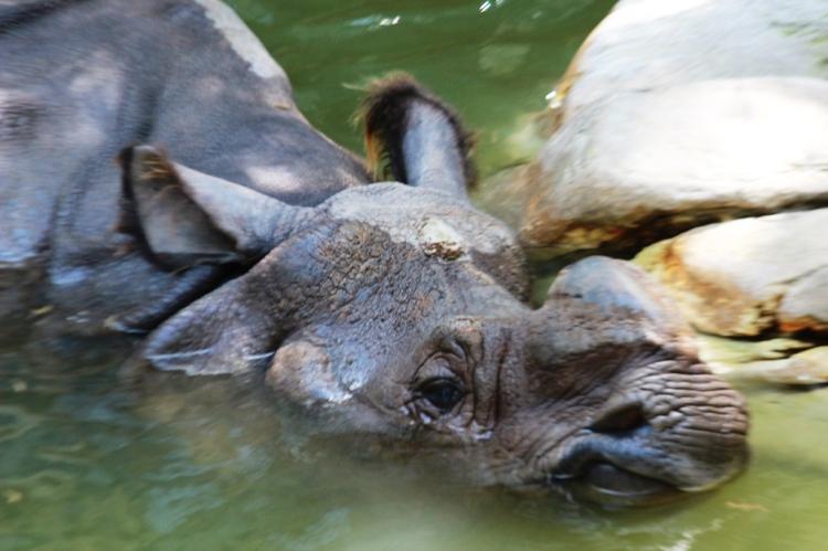 Fort Worth Zoo Rhino