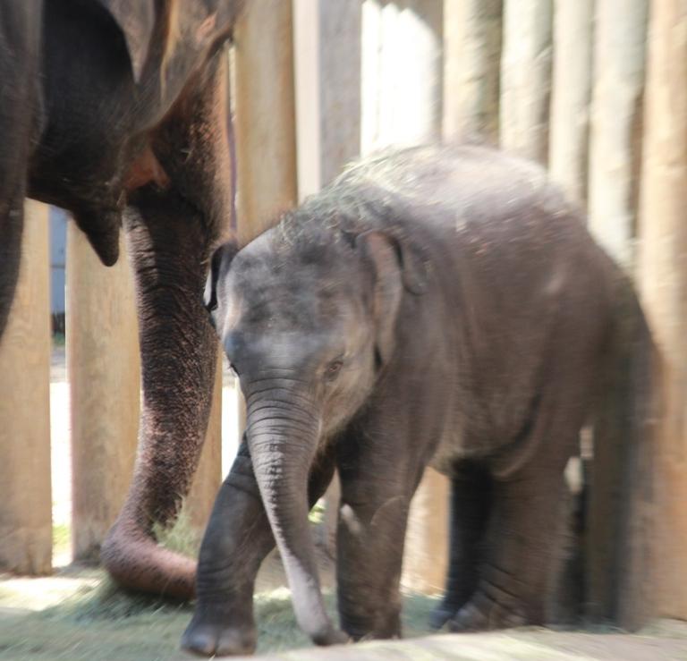 Forth Worth Zoo Baby Elephant