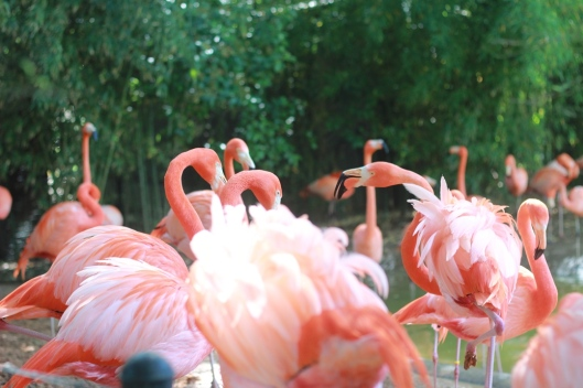 Pink Flamingos at the Fort Worth Zoo